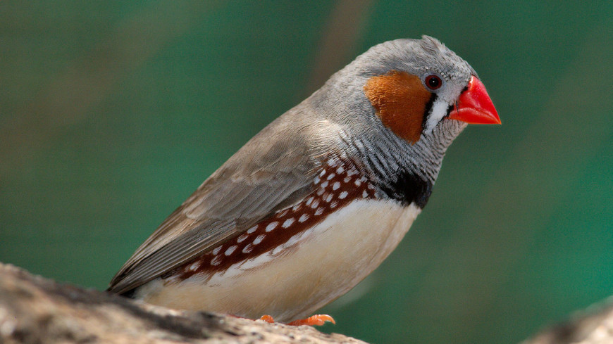 Стало известно, что помогает птицам научиться петь