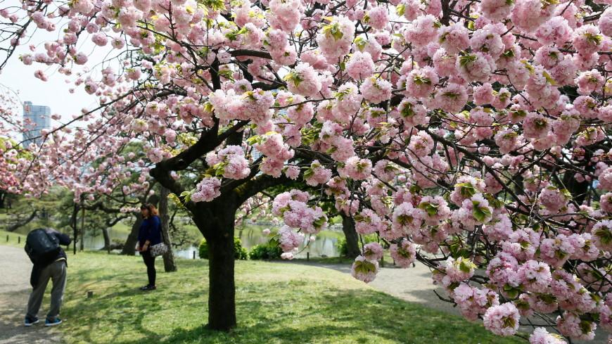 Не пропустить красоту: тысячи японцев помогают предсказать время цветения сакуры