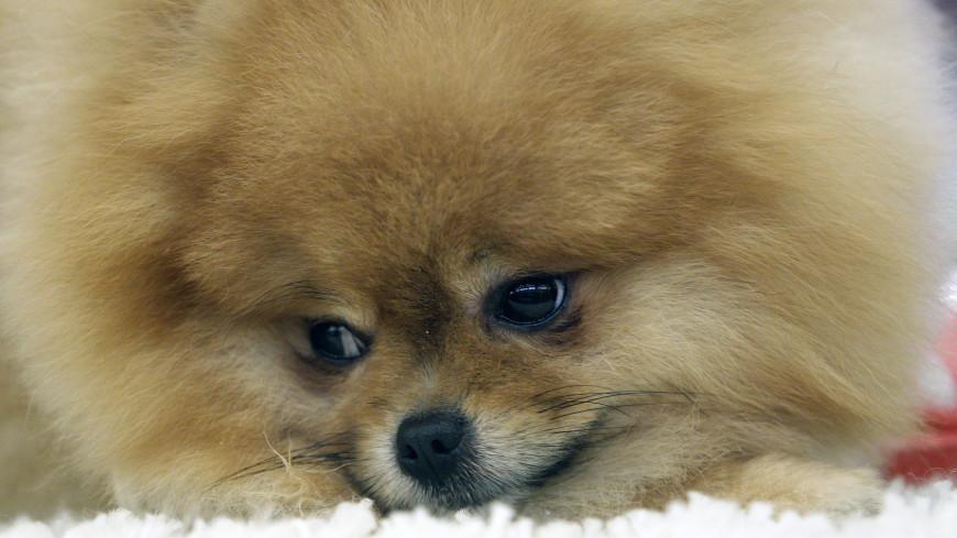 В Таиланде у собаки отвалилось ухо после покраски шерсти