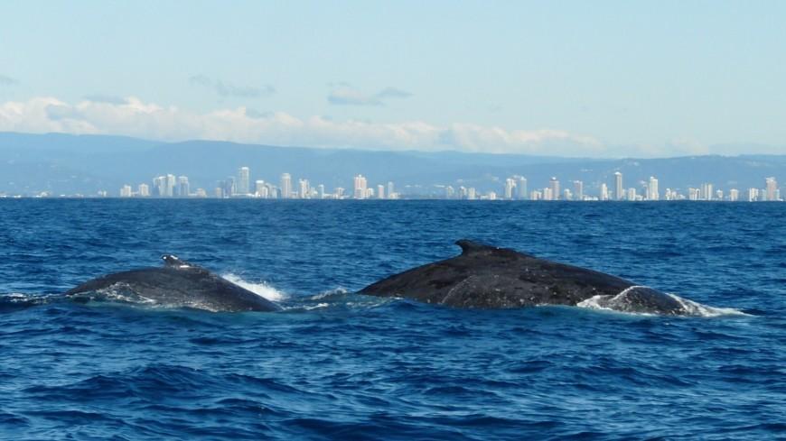 Власти Исландии продлили разрешение на охоту на китов