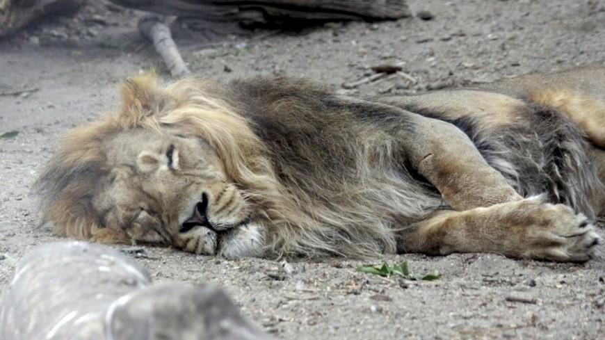 """""""© Фото: Александр Попов, «МИР 24»"""":http://mir24.tv/, животные, зоопарк, лев"""