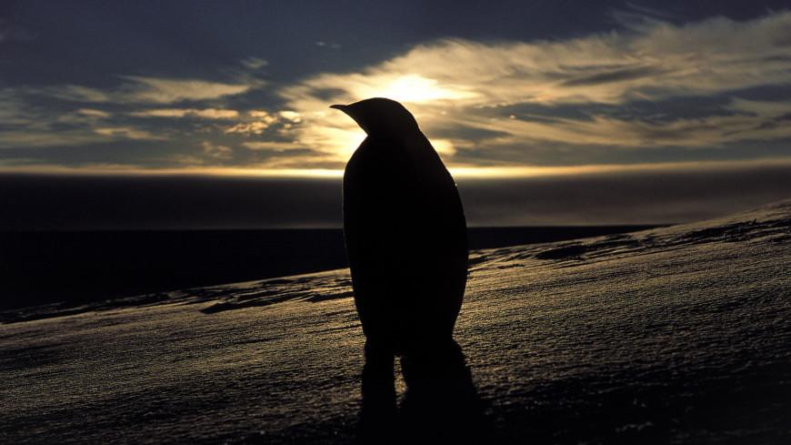 Редкая птица: абсолютно черный пингвин впервые попал на видео