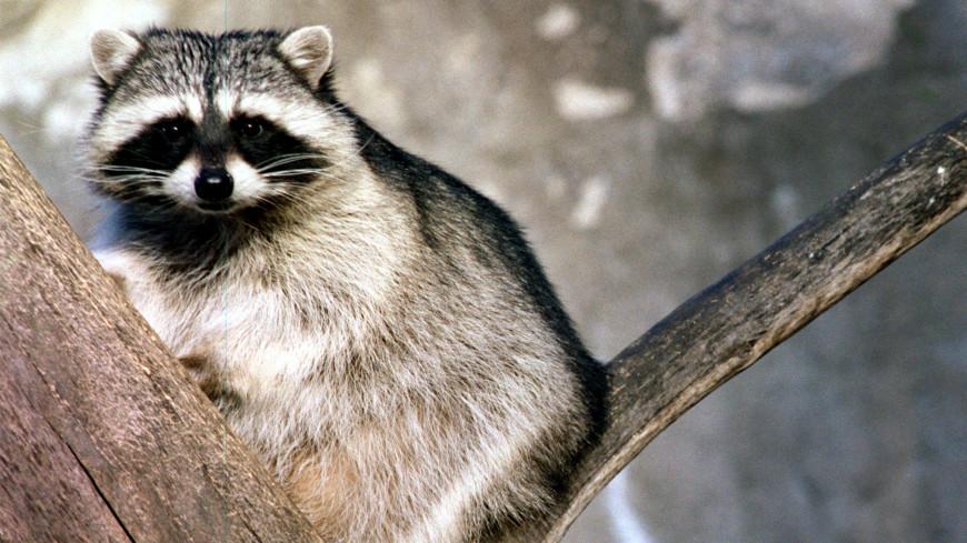 Оттепель разбудила енотов-полоскунов в Московском зоопарке