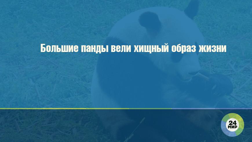 Большие панды вели хищный образ жизни