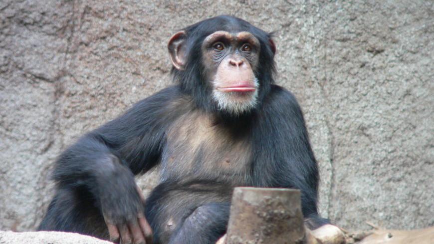 Жесты шимпанзе оказались похожи на человеческую речь