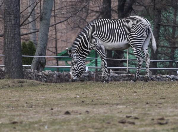 Загадки природы: зачем зебрам полосы