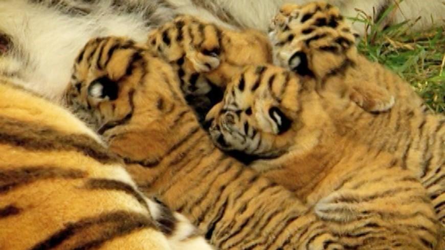 """Скриншот: """"«МИР 24»"""":http://mir24.tv/, тигренок, тигр, тигрята, тигры"""