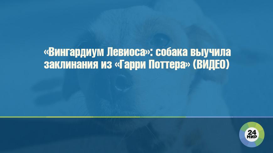 «Вингардиум Левиоса»: собака выучила заклинания из «Гарри Поттера» (ВИДЕО)