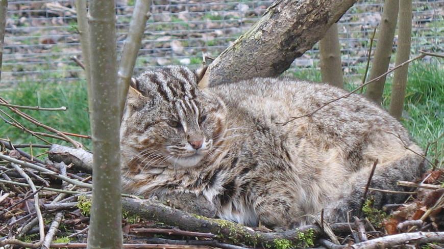 В Приморье в капкан попал краснокнижный лесной кот