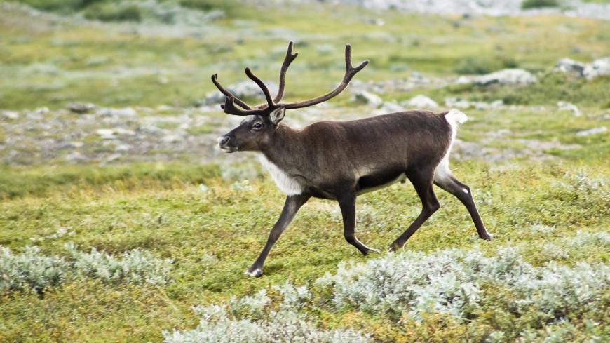 Северные олени переживают морозы благодаря этанолу