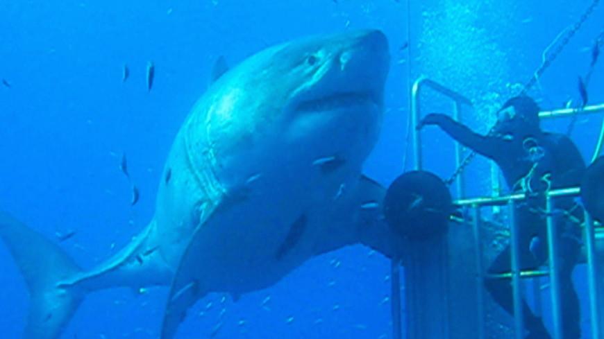 Дайверы обнаружили у Гавайских островов самую большую акулу в мире