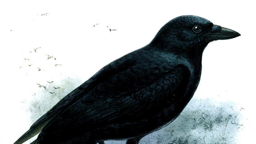 Новокаледонский ворон способен зрительно определить вес предмета
