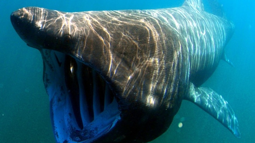 "Фото: ""Greg Skomal / NOAA Fisheries Service"":http://www.nmfs.noaa.gov/gallery/images/search/noaa_fisheries_service.html, акула"