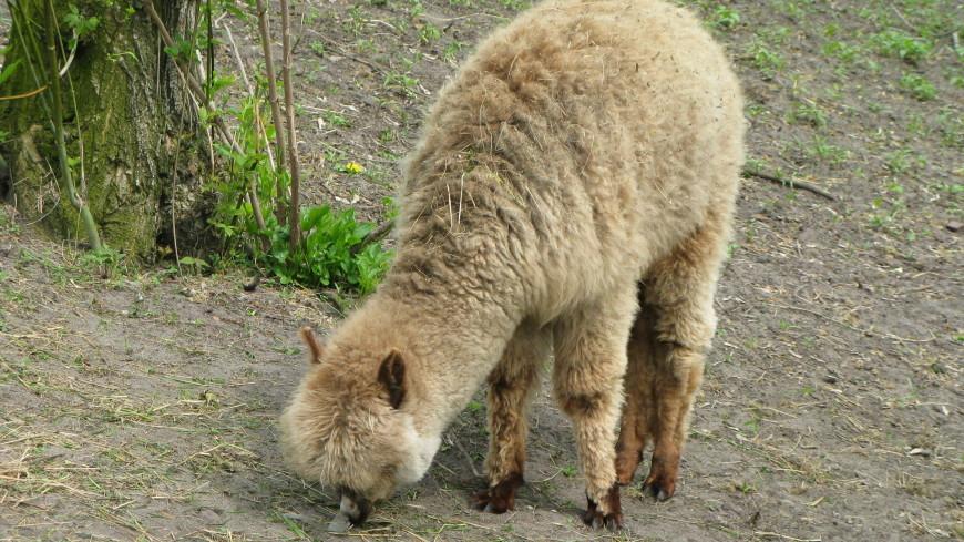 Выбирала линзы: в магазин оптики во Франции забежала альпака