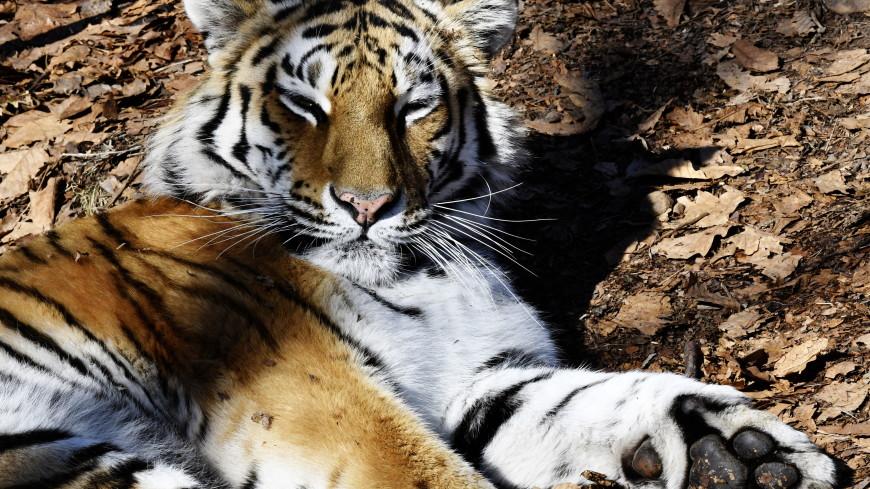 Сестру тигра Амура перевезут в зоопарк Алматы
