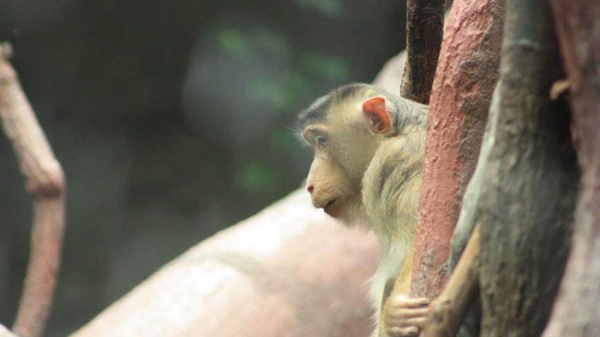 """Фото: Мария Чегляева, """"«МИР 24»"""":http://mir24.tv/, зоопарк, обезьяна, макака, животные"""