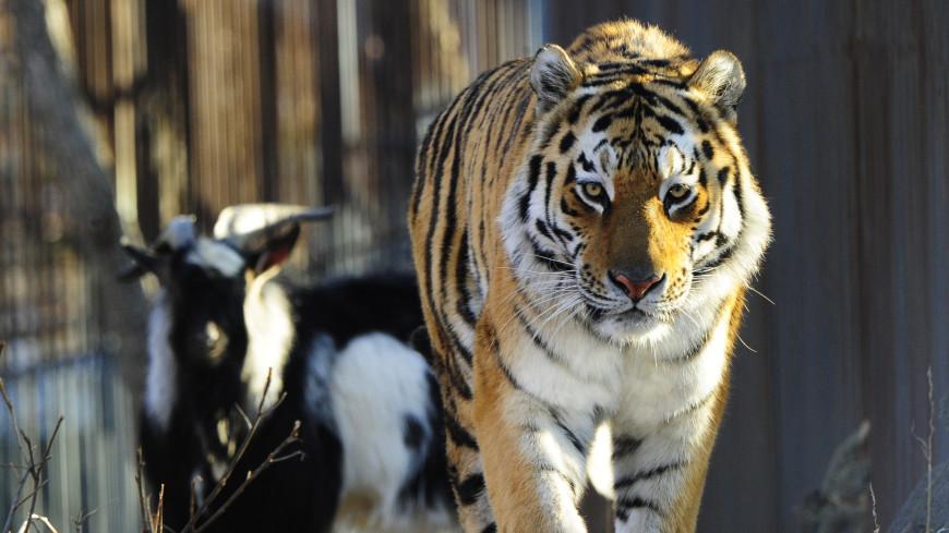 Знаменитого тигра Амура направят в зоопарк Краснодарского края