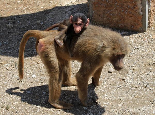Бабуины опровергли модную психологическую теорию