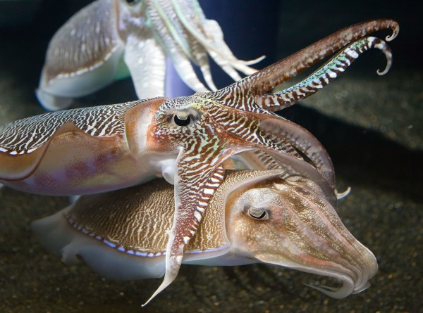 В чернилах каракатицы нашли средство для лечения рака