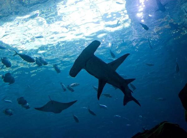 В британские воды впервые в истории заплыла акула-молот