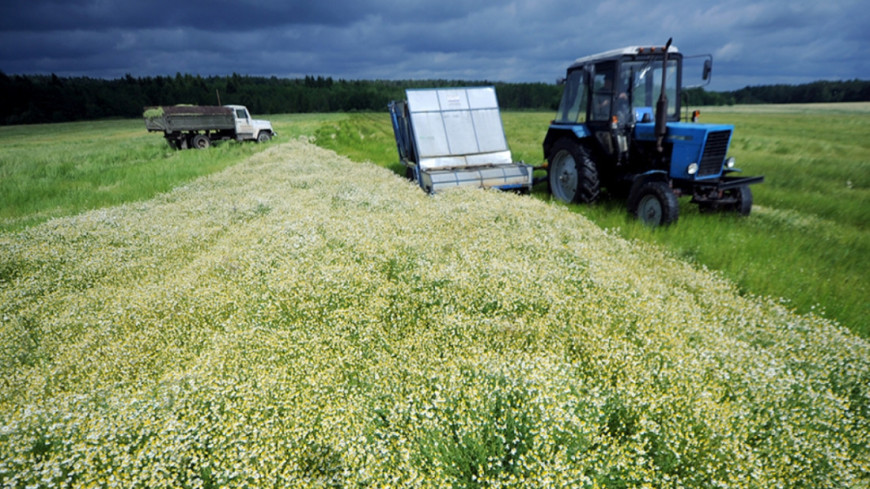"""Фото: Виталий Залесский, """"«МИР 24»"""":http://mir24.tv/, фермеры, ромашка, трактор, поле"""