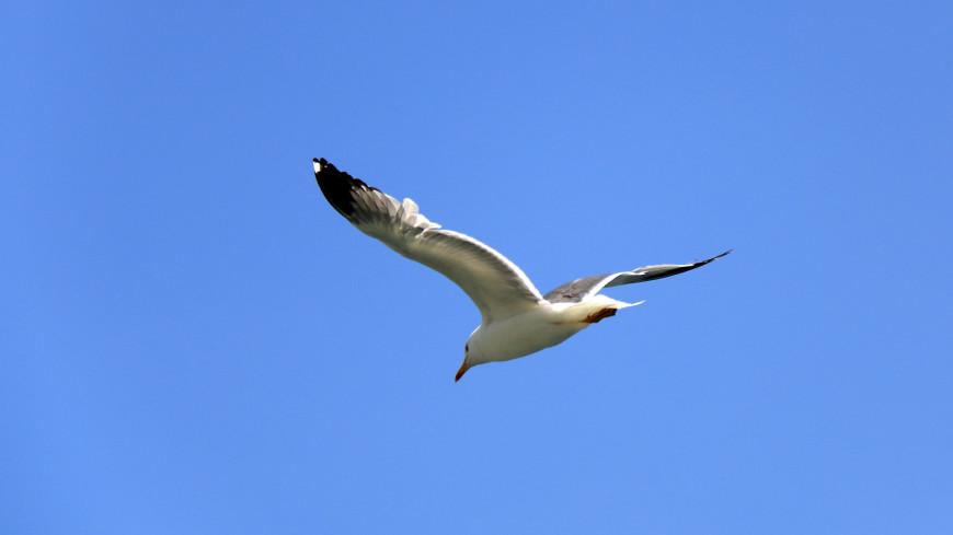 Чайка в небе,чайка, небо, птица,