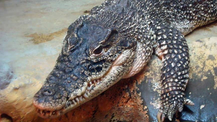 У атомной станции во Флориде расплодились крокодилы