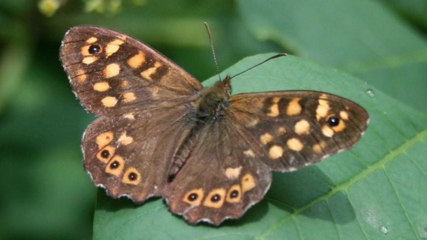 В Москве поселились восемь видов редких бабочек