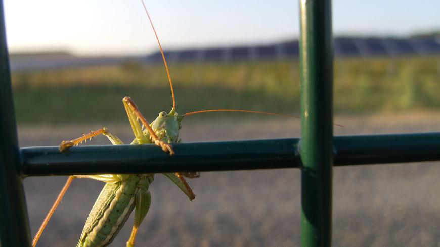 Нашествие кузнечиков: насекомые заполонили Лас-Вегас