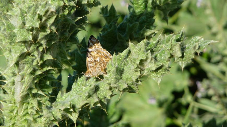 Юг Нижегородской области захватили бабочки-репейницы