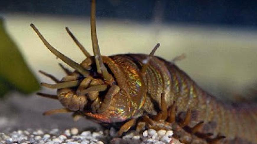 Морской червь шумит в океане громче всех