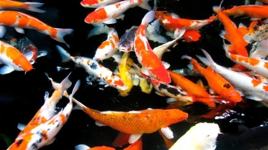 """Фото: Сергей Рабкин (МТРК «Мир») """"«Мир 24»"""":http://mir24.tv/, рыбы, таиланд, пруд, рыба, разведение рыбы"""