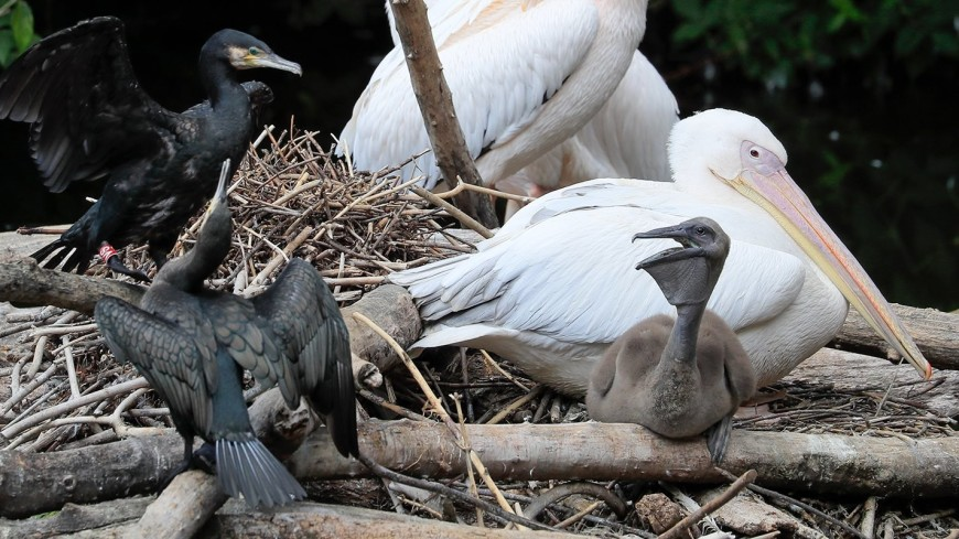 В Московском зоопарке родился птенец розового пеликана