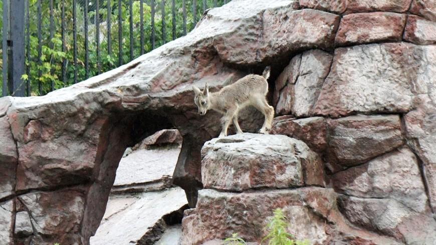 В Московском зоопарке родился детеныш голубого барана