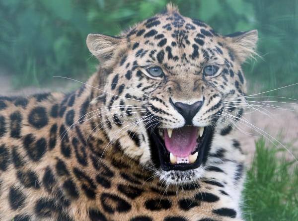 В Индии подросток спас своего брата от леопарда