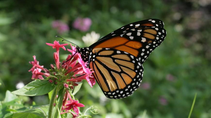 Рожденные в неволе бабочки-монархи не улетают на юг