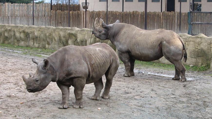 В Руанде выпустили на волю пять редчайших носорогов