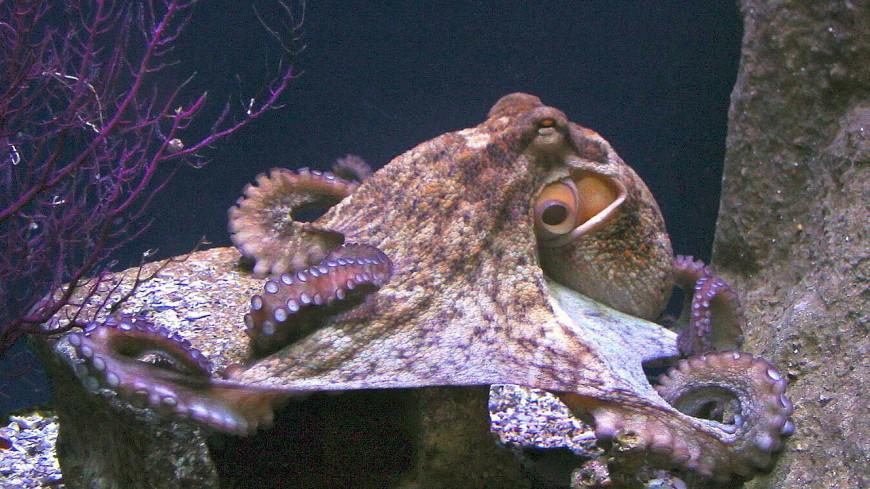 Ноги отдельно, голова отдельно: щупальца осьминога сами решают, как им двигаться