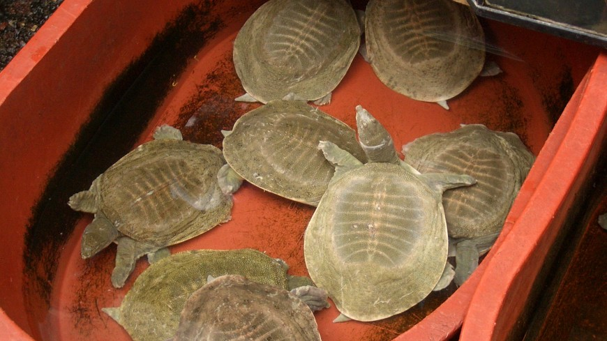 Индийский храм помог вернуть в природу «вымерших» черепах