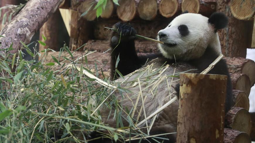 Панды Жуи и Диндин обживаются в Московском зоопарке