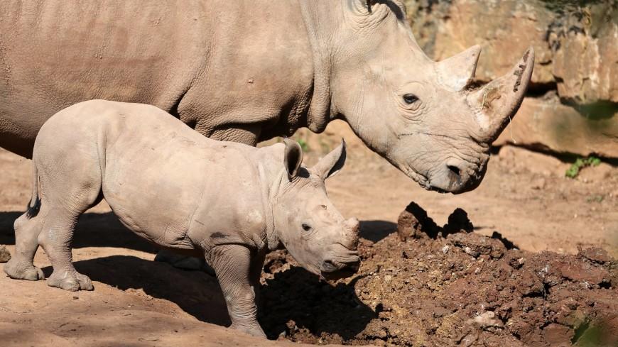 Последний шанс: вымирающий северный белый носорог родится от умершего самца