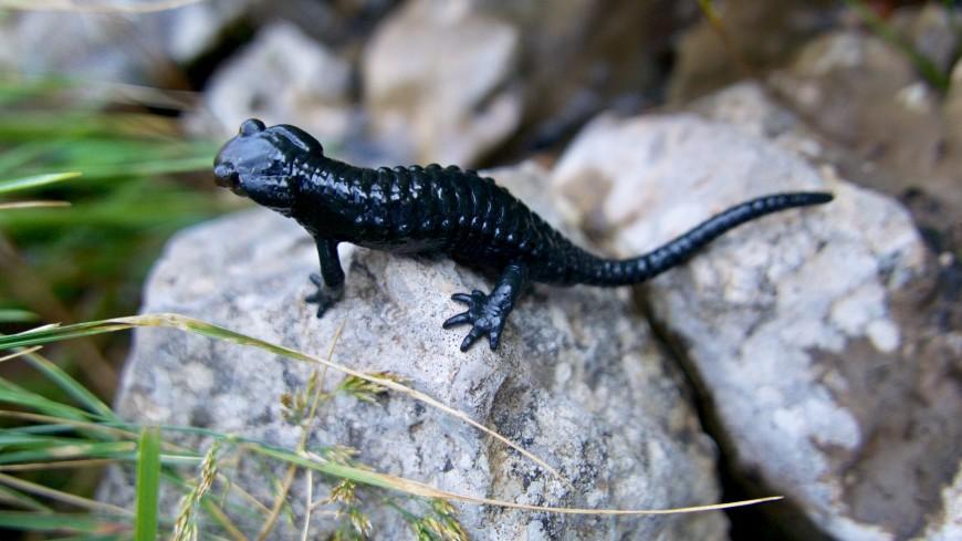 Саламандры помогут людям залечить раны без следа