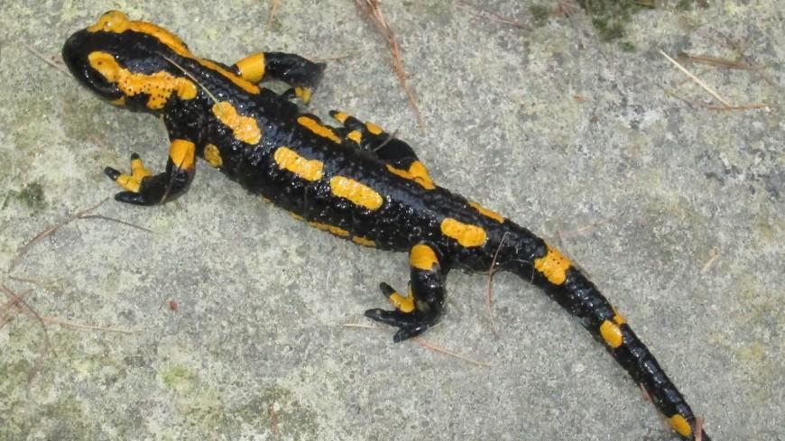 В Канаде нашли растение, поедающее саламандр