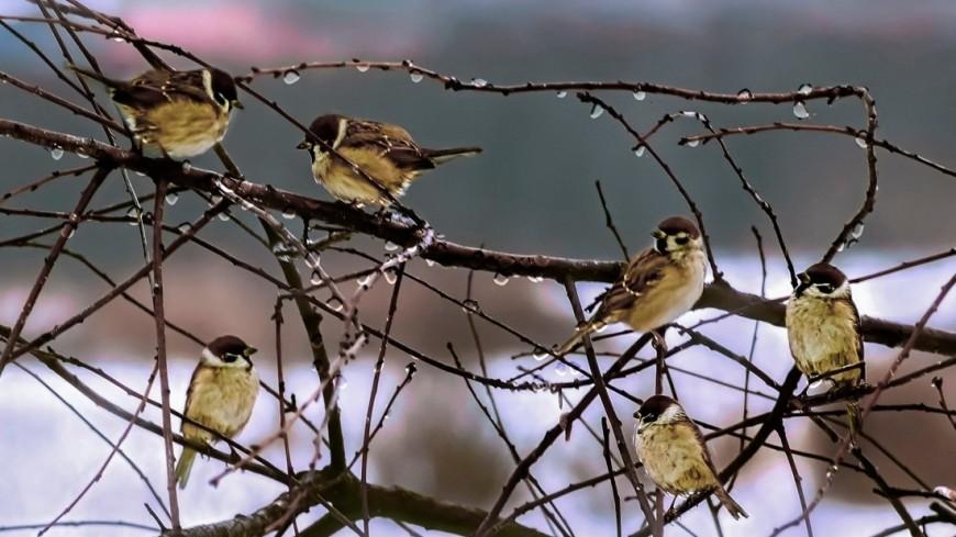 Раскрыт секрет «дуэтов» певчих птиц