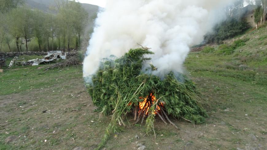 В Дагестане в рамках операции «Мак» уничтожили около 300 кустов конопли
