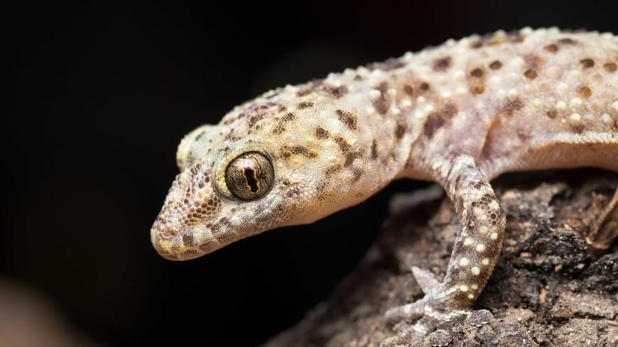 В Таиланде геккон поселился в ухе женщины