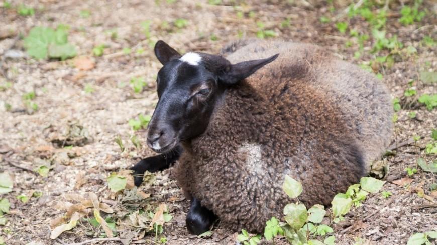 "Фото: Максим Кулачков, ""«Мир 24»"":http://mir24.tv/, овца, зоопарк, баран"