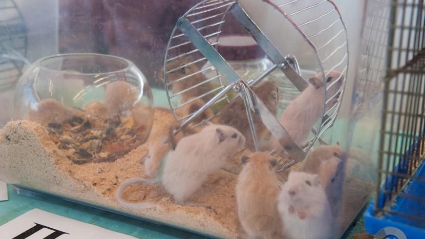 """Фото: Анна Тимошенко (МТРК «Мир») """"«Мир 24»"""":http://mir24.tv/, мыши, животные, домашние животные, мышь, мышь в клетке"""