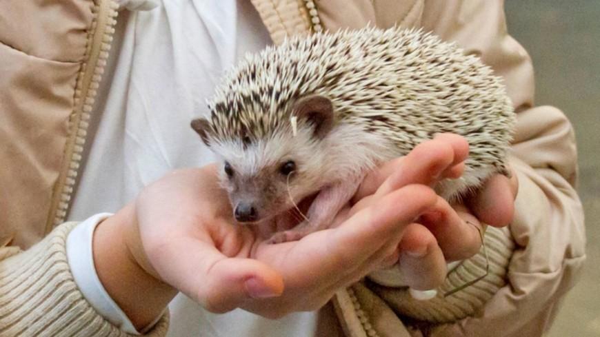 """Фото: (МТРК «Мир») """"«Мир 24»"""":http://mir24.tv/, еж, контактный зоопарк, зоопарк, животные, домашние животные"""