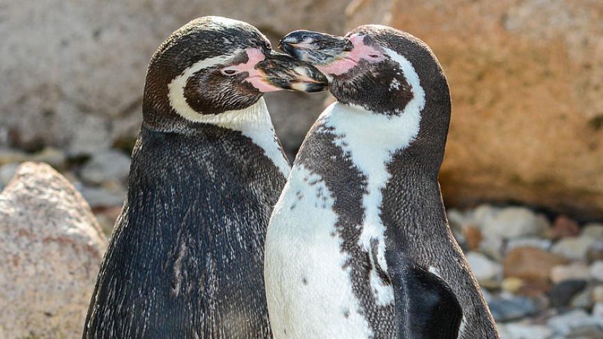 Пополнение в стае: в Приморский океанариум переехали восемь пингвинов Гумбольдта